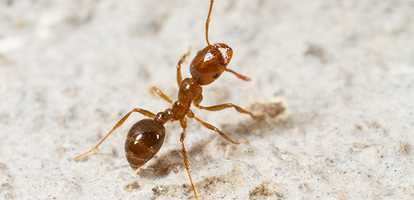 Red Imported Fire Ants Ipswich