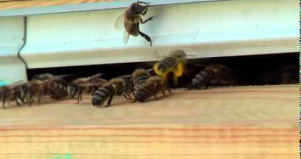 Bees coming and going from the entrance to their hive