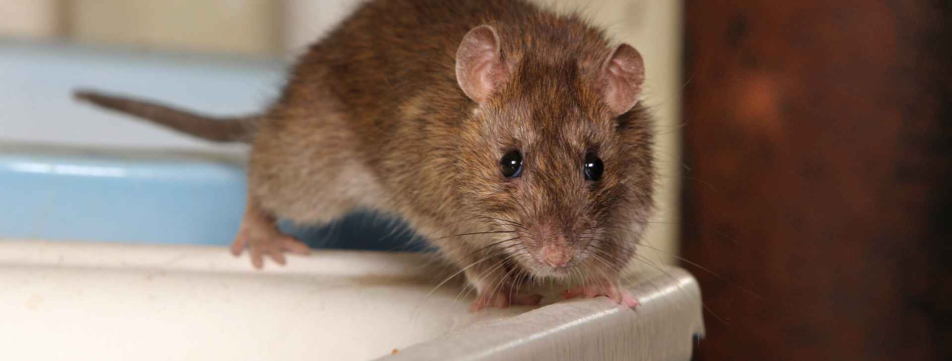 Rodent - Termitrust Home