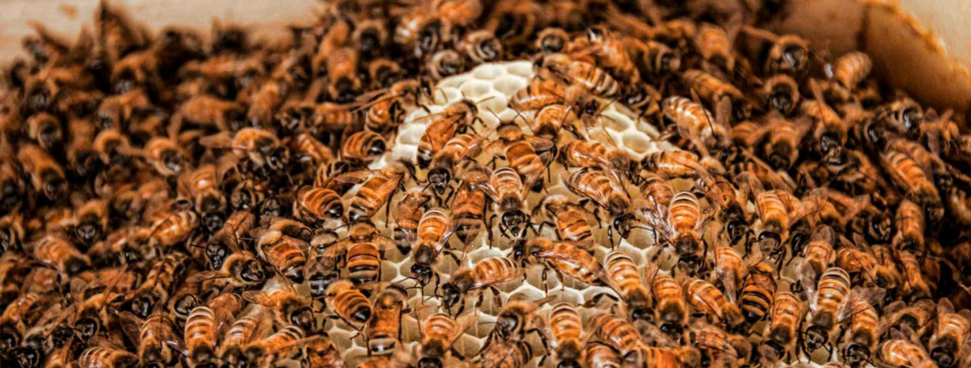 honey-bees-Edit