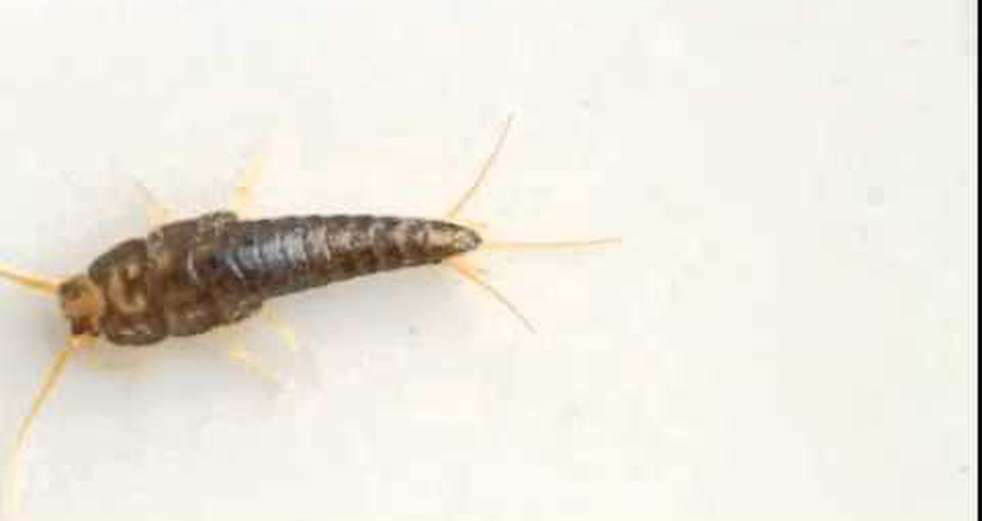Silverfish Up Close