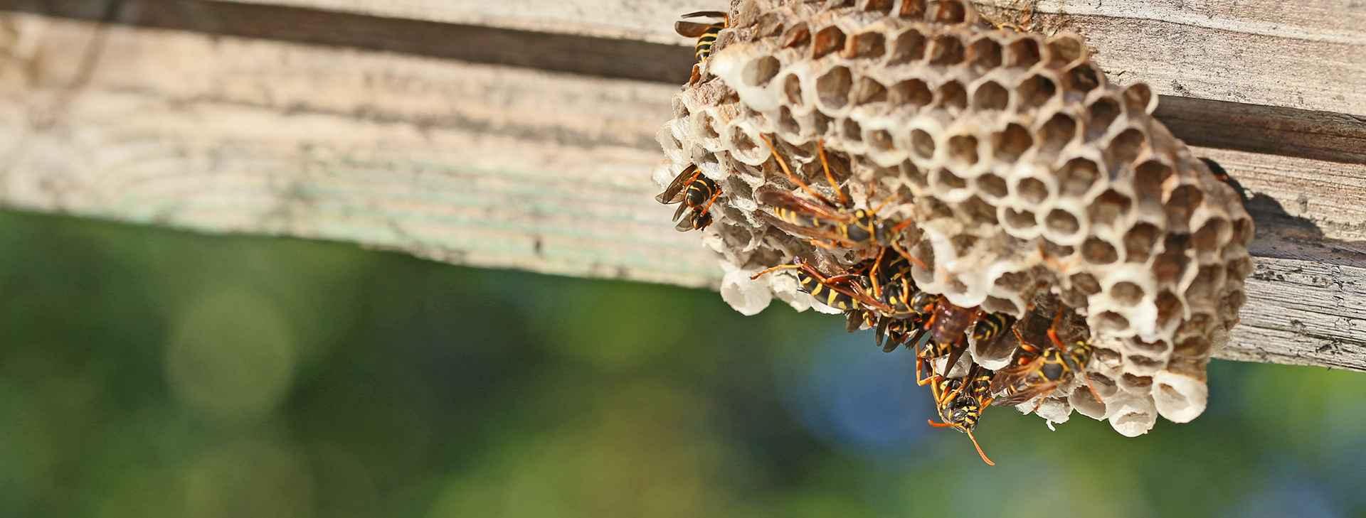 Wasps resized