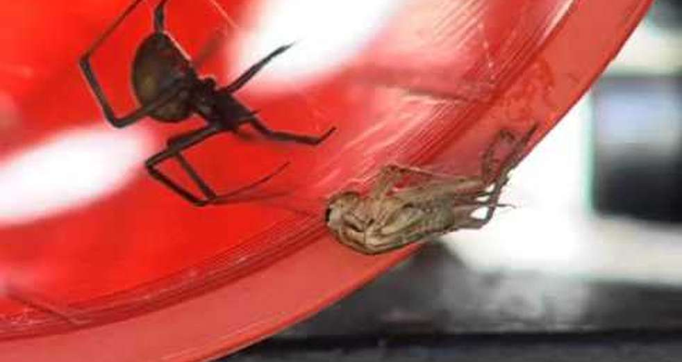 Red Back spider Up Close