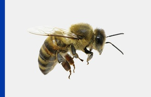 European or Western Honey Bee