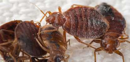 Need advice on how to get rid of bed bugs?