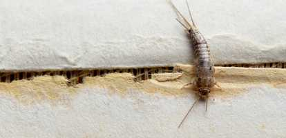 Need advice on how to get rid of silverfish?