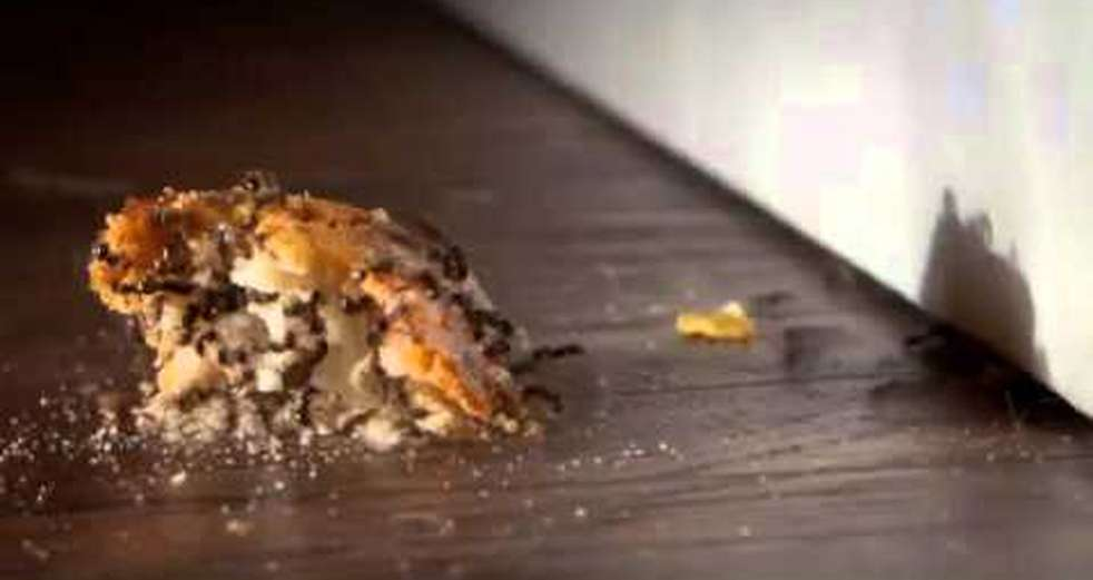Time lapse of ants breaking apart and carrying bread