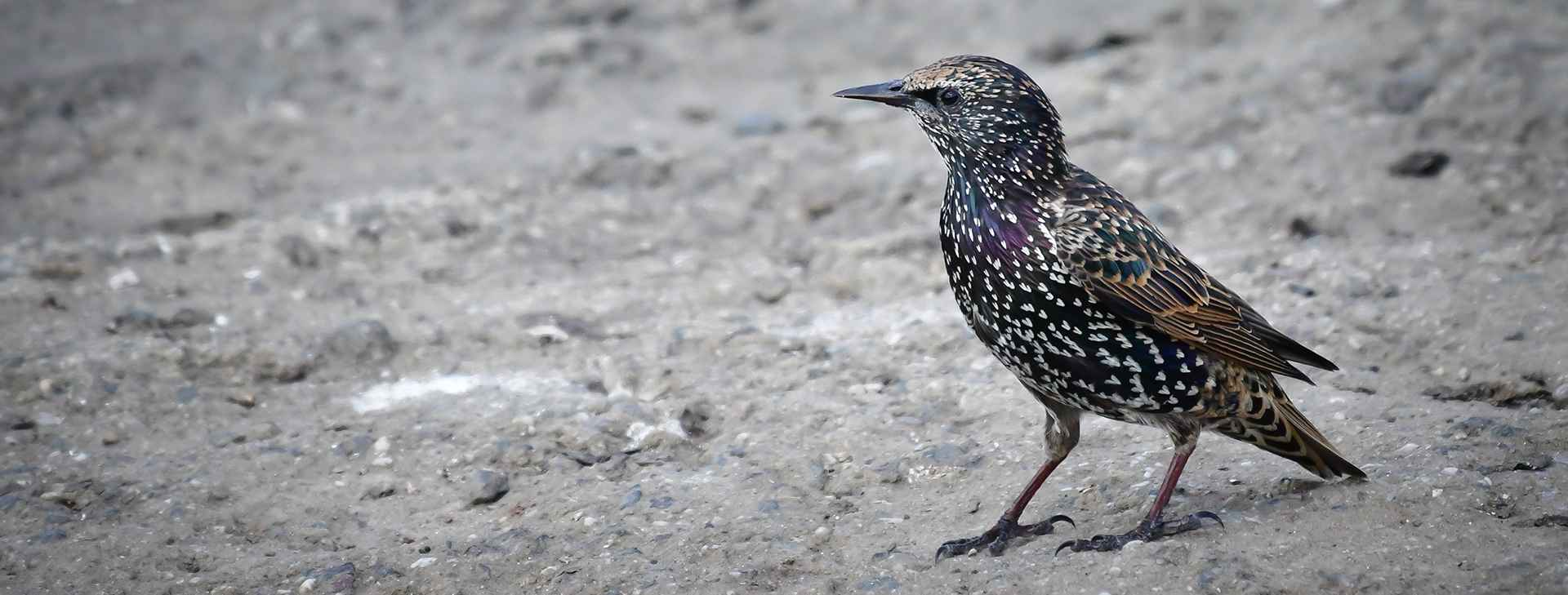 stock-photo-european-starling-common-starling-613116092 crop