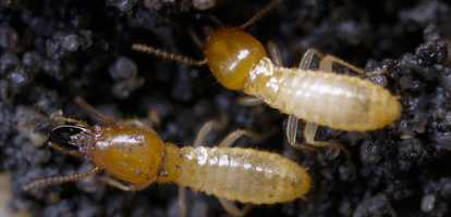 More termite facts...