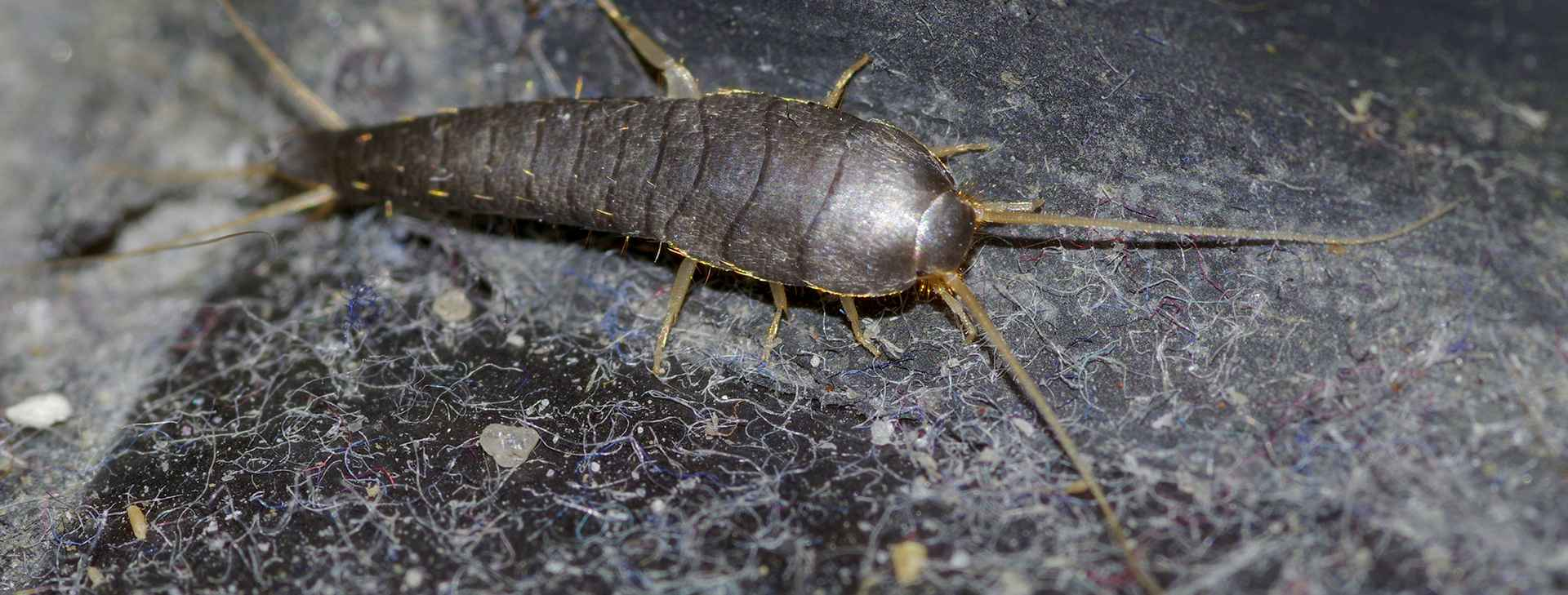 Silverfish resized