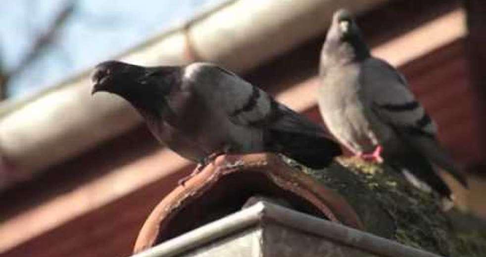 Pigeons Up Close