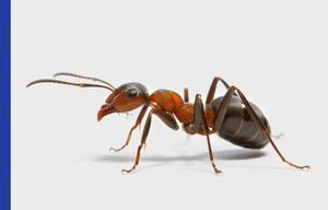 Coastal Brown Ants