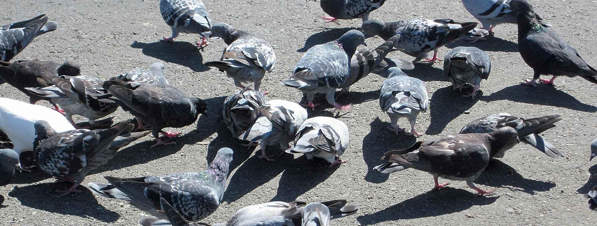 Feral_pigeons