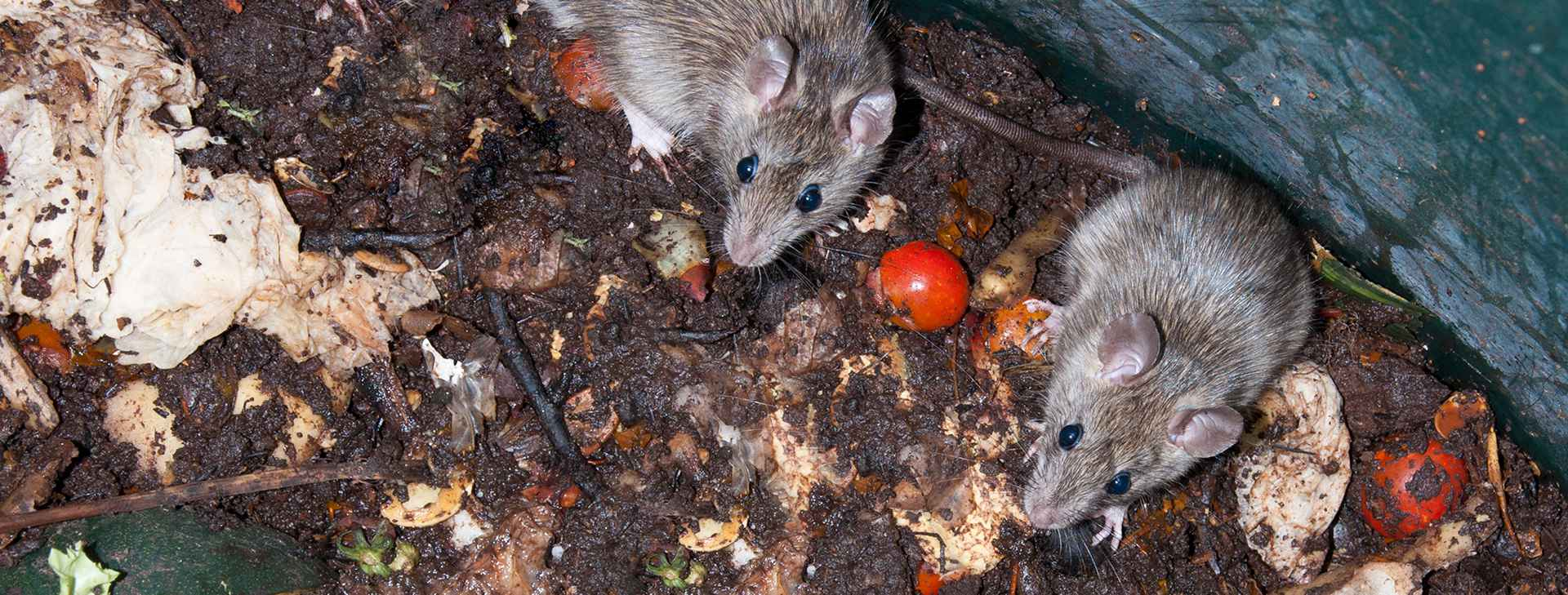 Rats resized