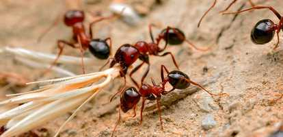 Red Imported Fire Ants Brisbane